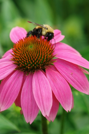 coneflower and bee
